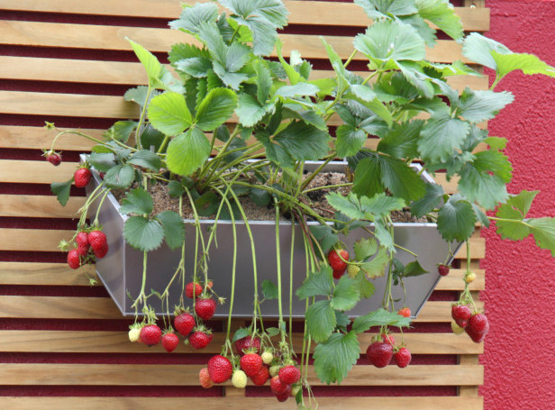 Easy way to grow strawberries in a small space for Easy plants to grow in pots outside